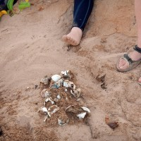 The next morning, turtle researchers excavate a hatched nest. These are the discarded egg shells.