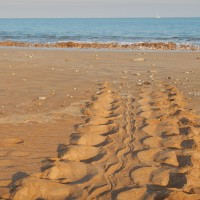 Tracks from a female turtle making it's way up the beach to make her nest