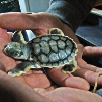 Turtle hatchling
