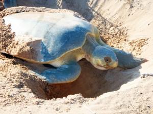 Nesting Flatback Turtle (2)